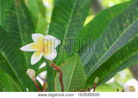 plumeria flower desert rose white beautiful on the tree