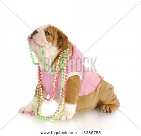 cute puppy - female english bulldog puppy chewing on beads on white background poster