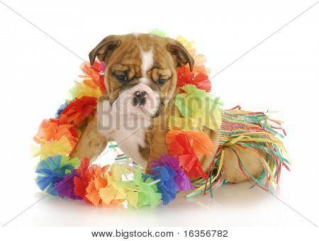 puppy dressed like a hula dancer - english bulldog - 7 weeks old