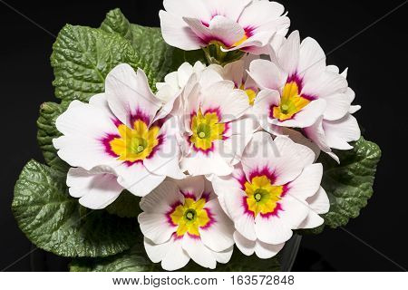 Bouquet of spring flower of Primula vulgaris on black background.