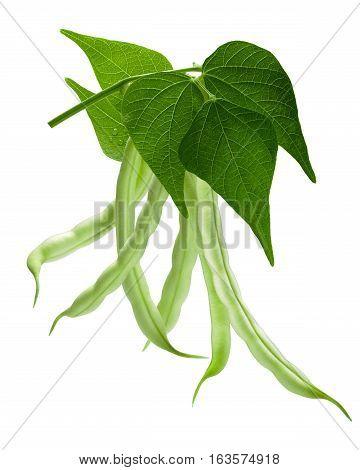 Branch Of Haricot Bean (phaseolus Vulgaris), Path