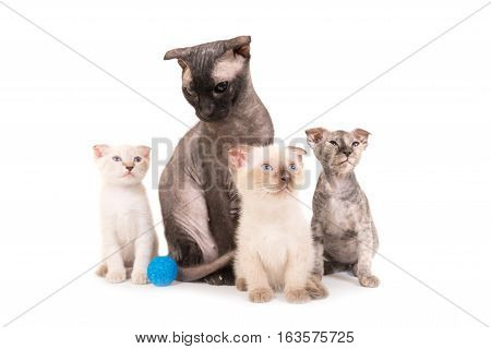 Black Purebred Sphinx Cat With Three Kittens