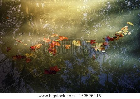Floating leaves on the calm water of the pond.