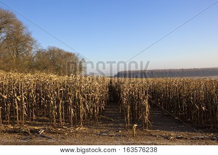 Dry Maize Plants In Winter