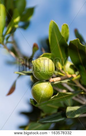 Macadamia nuts on the evergreen tree macadamia plantation - expensive fat nuts poster