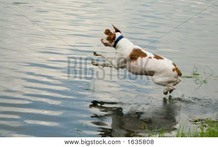 This is a photograph of a dog jumping into the water. poster