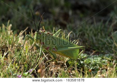 A big and green Grasshopper from Ethiopia