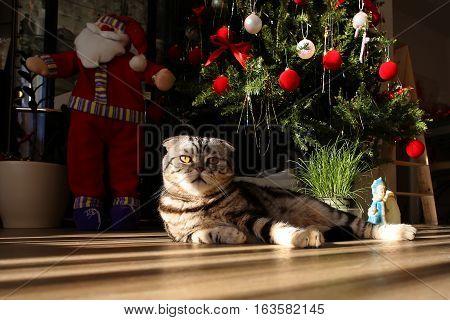 Holidays / Beautiful Christmas and New Years scene / British Shorthair kitten