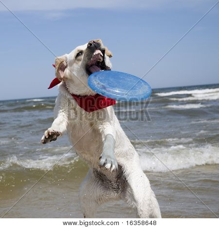 Labrador Retriever in action.