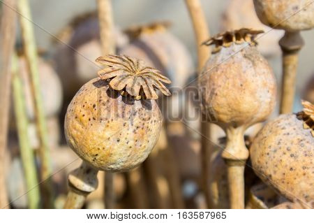 Dried poppy head. Opium drugs plant head