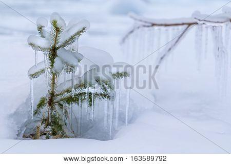 Frozen Seedling Of Tree.