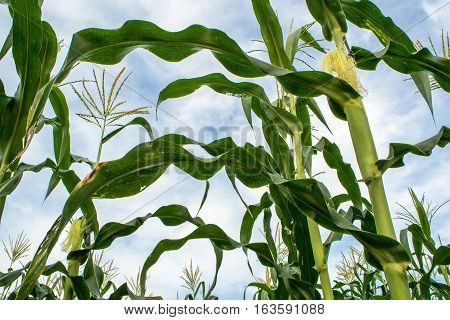 Baby corn in Corn farm at the countryside