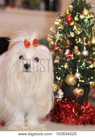 Maltese dog on the background of the Christmas tree