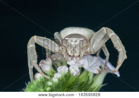 A macro photo closeup of a white crab spider