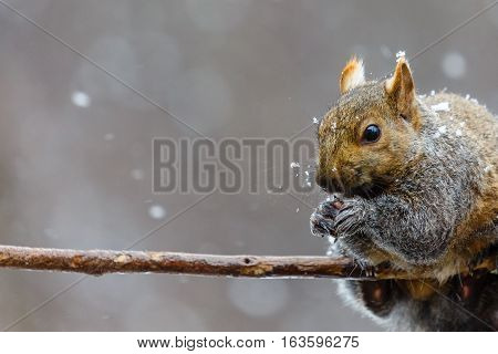 Gray squirrel, (Sciurus carlinensis) with snow on its face.