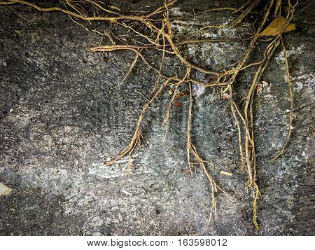 framed Tree roots on dark dirt ground for texture and background.