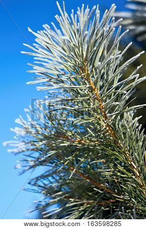 Frost on pine needles pine branches with wonderful blue sky background.