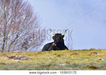 aurochs bull again blue sky in Bavarian nature,Germany