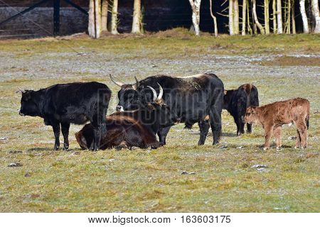 aurochs animal Bos primigenius,nature in Bavarian forest in Germany