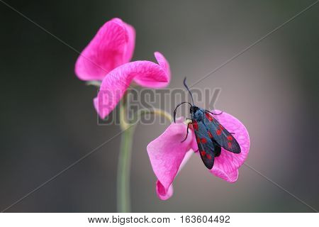 Six-spot burnet on petal sweet pea, sits because he likes the smell