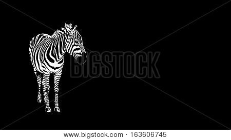 Zebra on a black background isolated. African horse. Striped black and white Zebra.