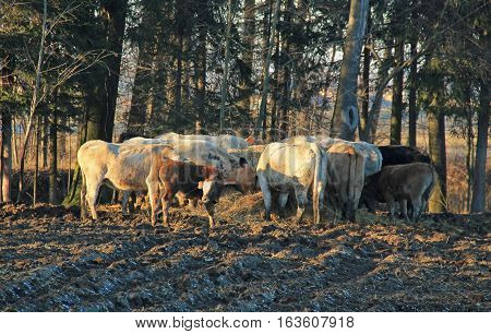 group of cows and calves living outdoors eating hey