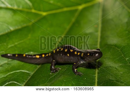 A close up of a Spotted Salamander isolated on a green leaf.