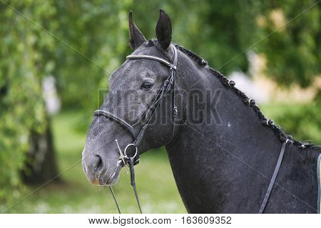 Horizontal Head Shot Of A Young Lipizzaner Horse Against Green Natural Background
