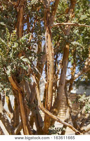 Frankincense tree in Wadi Dawkah Frankincence Nature Resort. Dhofar mountain, Oman