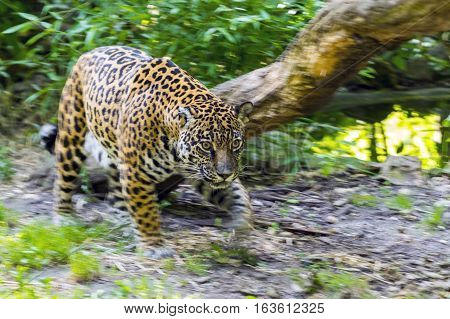 Spotted female jaguar - Panthera onca - in motion