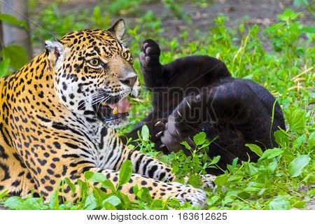 Young black jaguars is playing with her spotted mother - Panthera onca