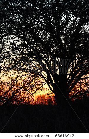 Siluet tree in cold December at sunset