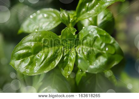 Small  Basil Plant