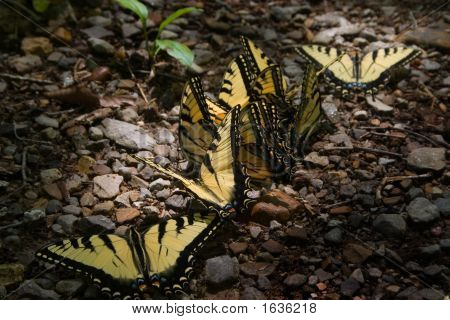 Yellow Butterflies In A Row.