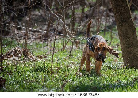 Bloodhound dog on long lead line tracking
