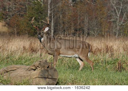 Buck In The Meadow