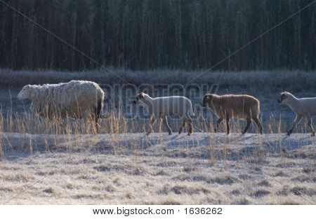 Lambs In A Row