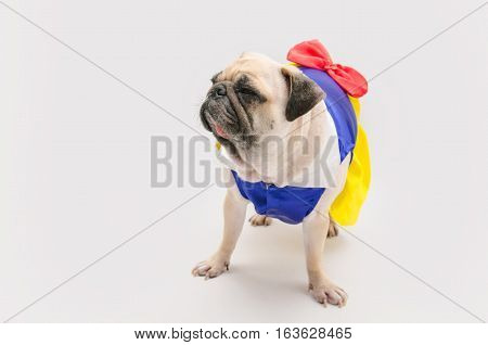 spoiled female dog - Cute puppy pug dressed like a princess on white gray background