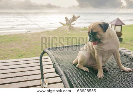 Pug dog watching the summer vacation view on the beach thinking about life