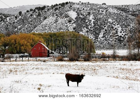 Bull in the snow in front of a barn