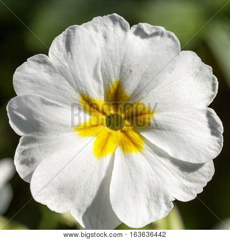 Spring flower of white Primula vulgaris in the garden.