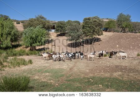 Flock of goats in a rural landscape in Ciudad Real Province Spain
