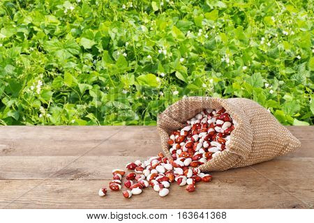 pinto beans in burlap bag. Dry kidney beans in burlap sack scattered on table with green blooming field on the background. Agriculture concept. Photo with copy space area for a text