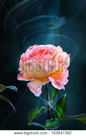 Pink yellow rose blossom in a smoke dark background. Concept of smell.