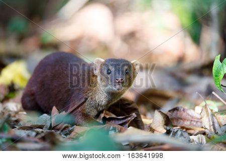 Ring-tailed Mongoose (galidia Elegans) Madagascar