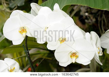 Inflorescence of large white pink orchid flowers in a greenhouse