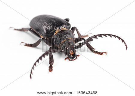 Longhorn beetle Tanner Sawyer (Prionus coriarius) on a white background