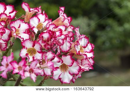 Pink azalea flowers to create a beautiful on nature background.