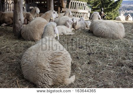 flock of sheep with lambs in a sheepfold
