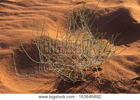Desert plant with insect tracks in Wadi Rum desert Jordan